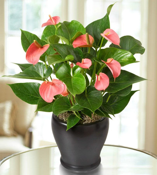 Pink Anthurium's - OOS