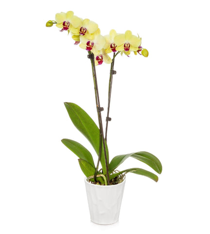 Large Yellow Orchid