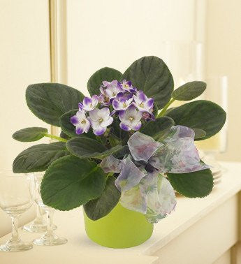Violet Plant of Hope - Florists.com