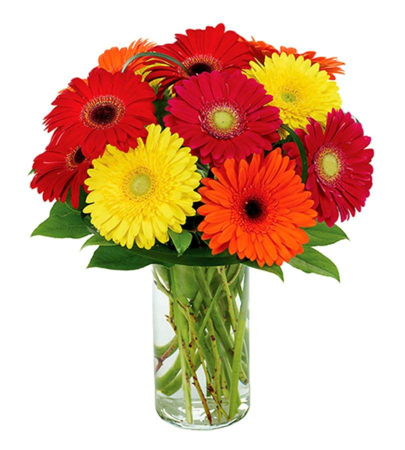 Color Daisies: Multi-Color Gerbera Daisies