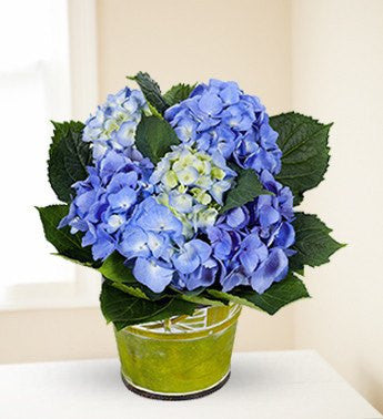 Sea Blue Hydrangea Plant - Florists.com