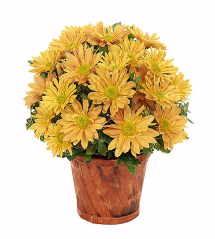 Bright Harvest Daisies Bouquet - OOS