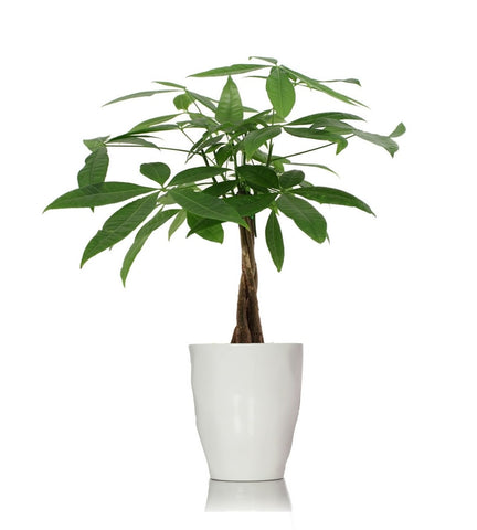 Charming Money Tree