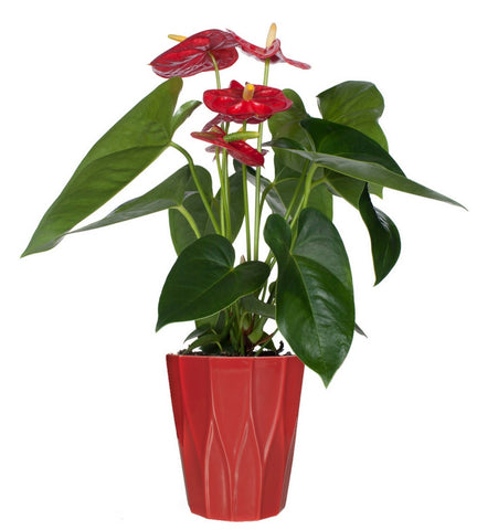 Everlasting Anthurium