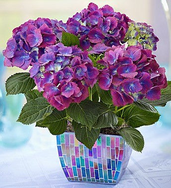 Passion Purple Hydrangea Plant