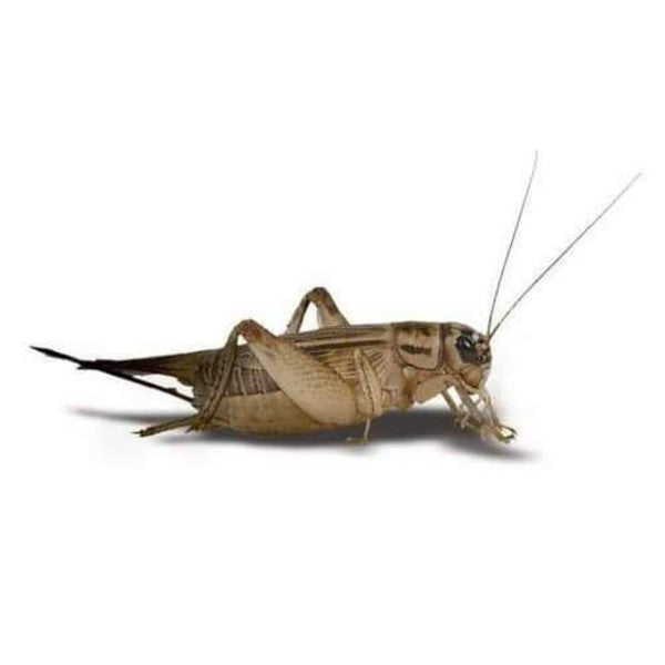 FEEDER CRICKETS - AVAILABLE IN-STORE ONLY