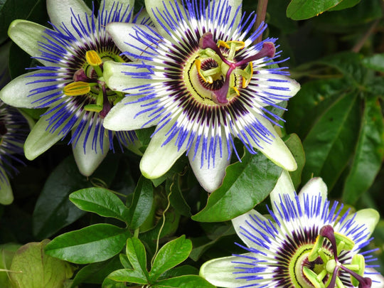 Health Benefits of Passionflower | Windward