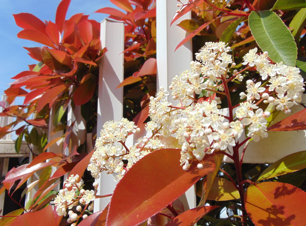 All About Photinia's :  Which One Will You Pick?