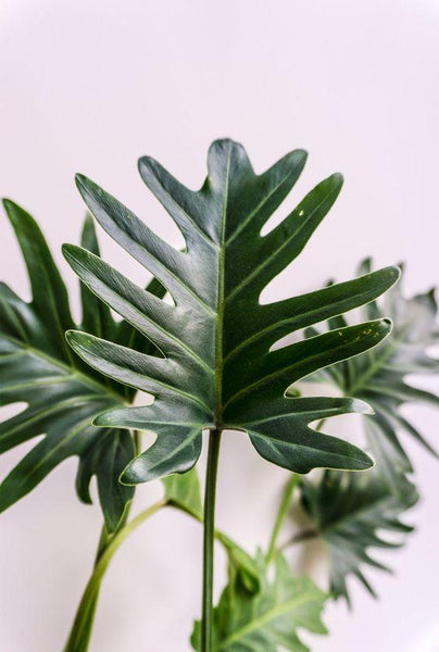 Plant of the Month: Philodendron xanadu