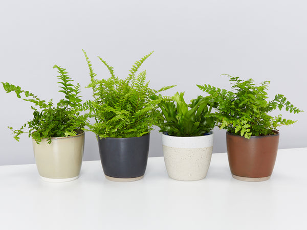 Fern Care 101: How to care for ferns