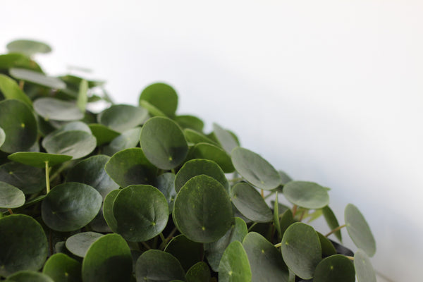 Plant of the Month: Pilea Peperomioides AKA Chinese Money Plant