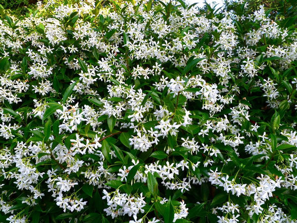 Plant Of The Month: Trachelospermum jasminoides AKA Star Jasmine