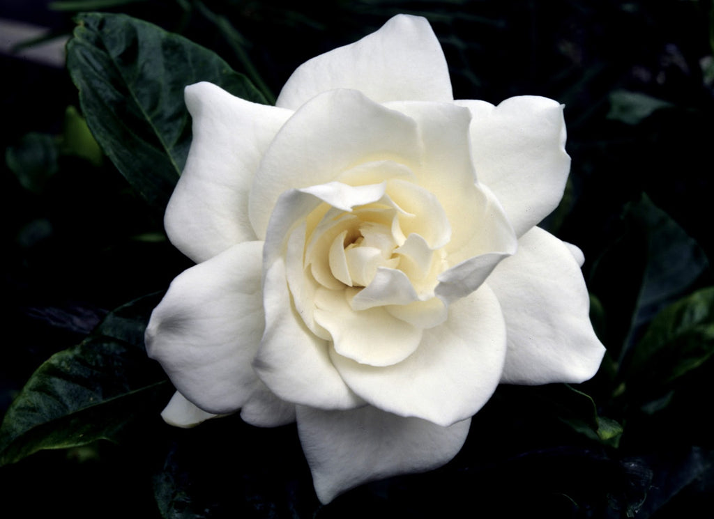 gardenia | plants in a box | springtime |