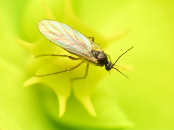 A close up view of a fungal gnat