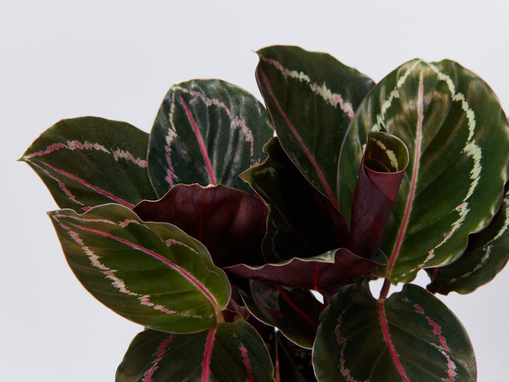 The Secrets Of The Calathea How To Care For Your Calatheas Plants In A Box