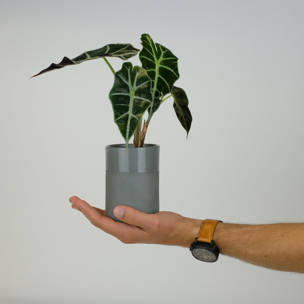 Alocasia Polly | Houseplants online Australia