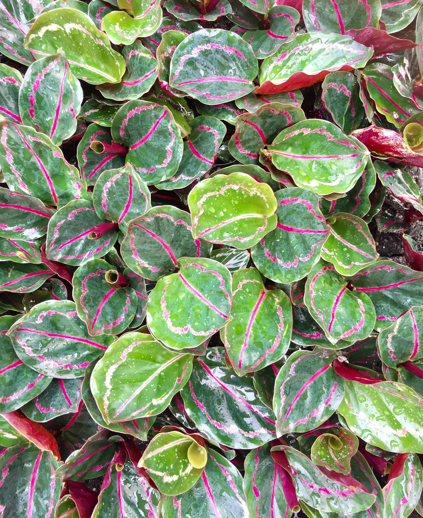 Behind the Calathea How to care for your Calathea Indoor Plant