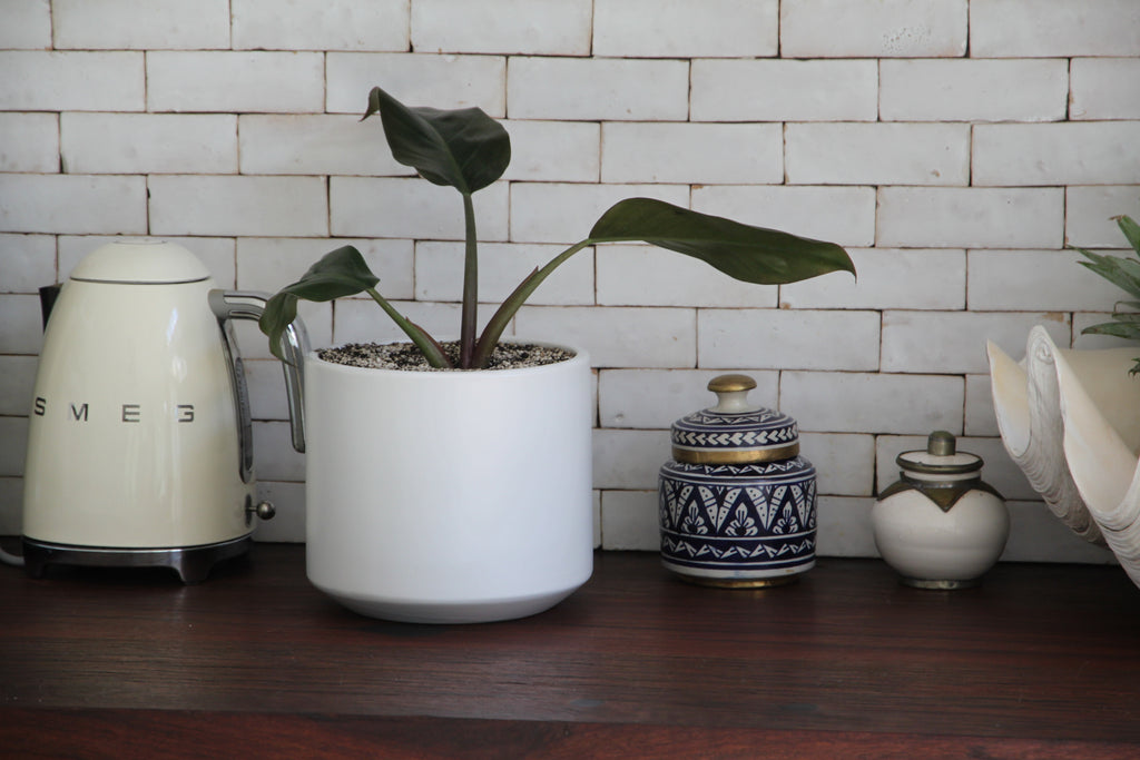 Indoor Plants for your home || Shop online free shipping