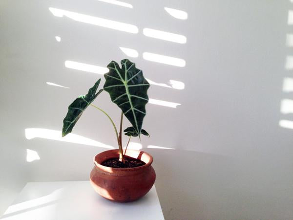 Alocasia | Office Desk Plants | Plants in a Box | Free Shipping Australia