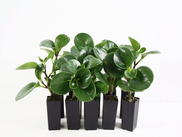 Peperomia jade | non toxic houseplants for pets | free shipping | plants in a box Australia