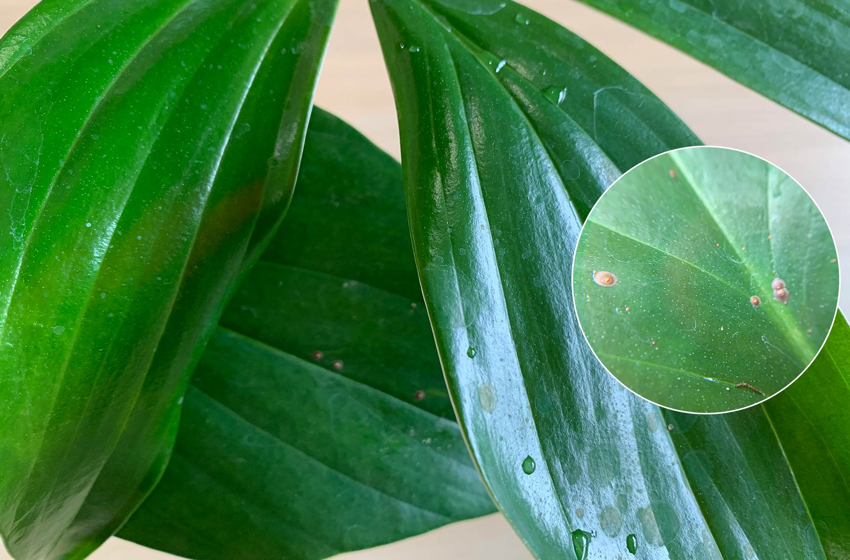 A magnified view of the common pest scale on the leaves of an indoor plant