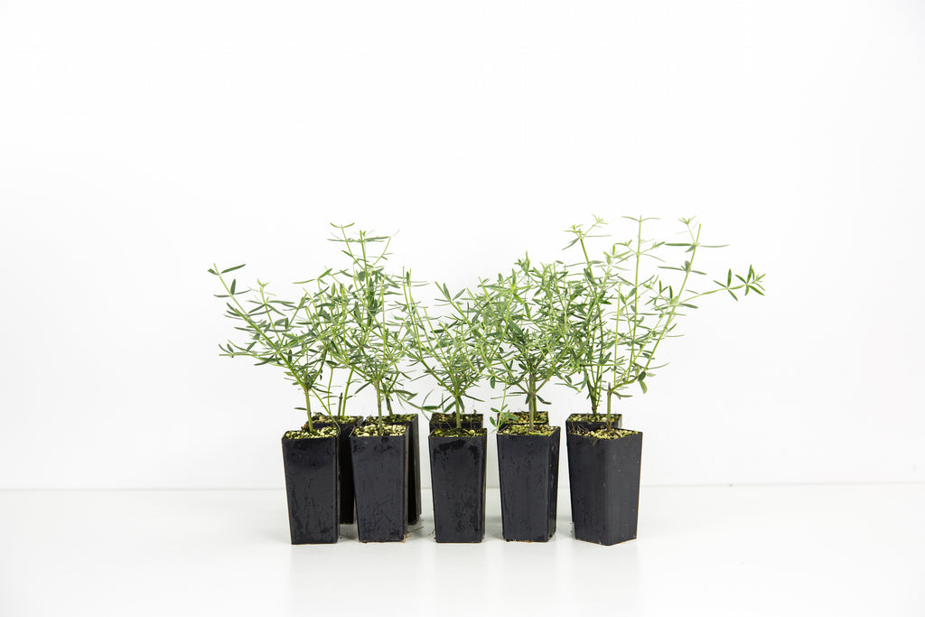 Buy Westringia Online | Coastal Rosemary Plants | Plants in a Box