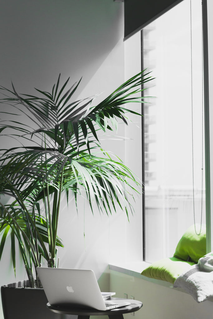 Parlour Palm | Office Desk | Indoor Plants | Plants in a Box | Tough Indoor Plants