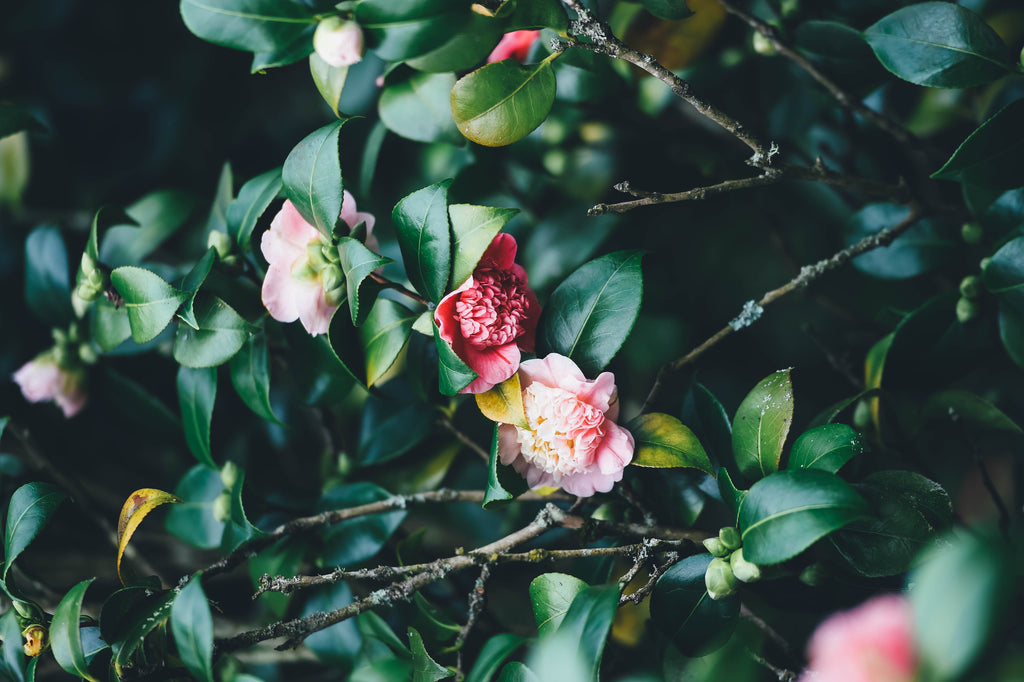 Camellia | Winter | Buy Australian Plants Online