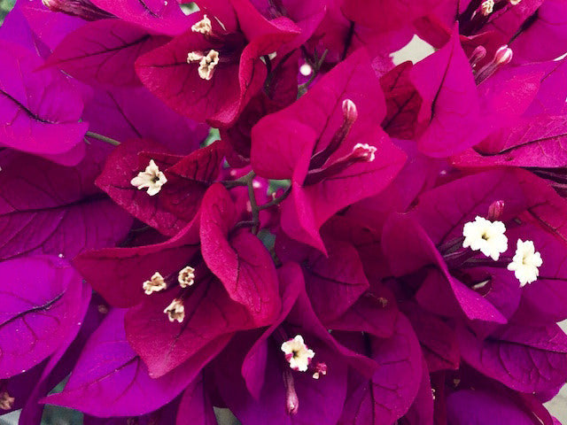 Buy Bougainvilleas online | Plants in a Box
