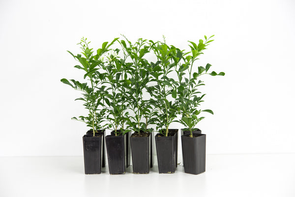 Buy Murraya online premium plants fast and free shipping Australia wide