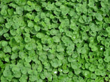 Buy Dichondra repens ground cover online Plants in a Box