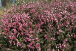 Mature Leptospermum scoparium Ballerina shrub with pink and white flowers covering branches with small leathery green leaves