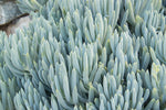 Senecio serpens - Blue Chalksticks Dwarf