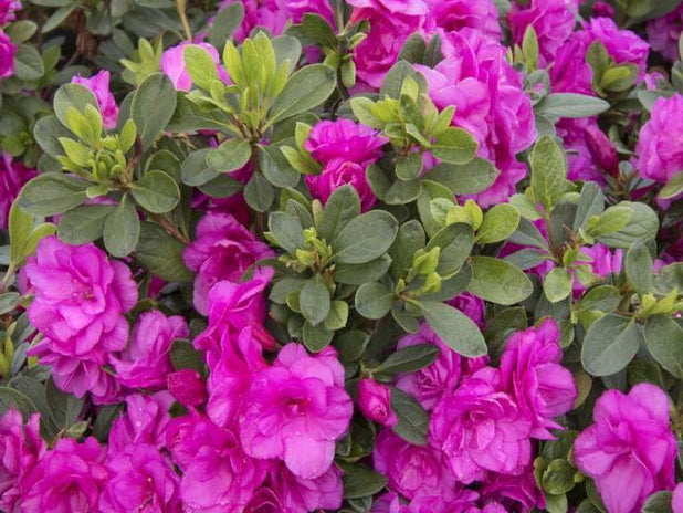 Azalea Happy Days | Free Postage | Low Hedge | Free Shipping