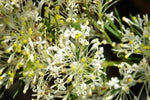 Grevillea curviloba has spider like cream flowers with yellow centres on slender white stems