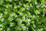 Sloping or salt-sprayed coastal gardens – anywhere you need groundcover