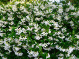 Shop 100 Packs of Star Jasmine Online Plants in a Box