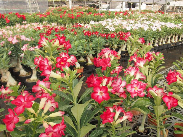 Adenium obese Double Pink | Plants in a Box | Free Shipping Australia