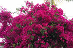 Bougainvillea Elizabeth - 85mm
