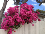 Bougainvillea Clifton Carnival