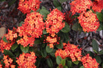 Ixora coral malay - orange foliage shurb
