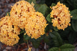 Ixora Gold Malay | Buy Plants Online | Plants in a Box