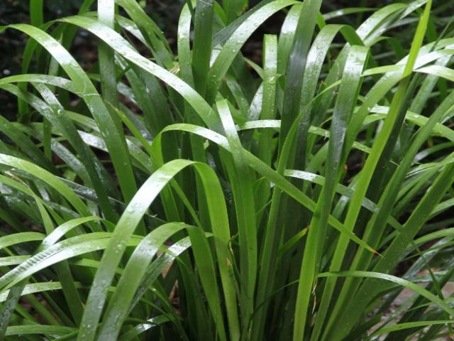Lomandra hystrix - Great Edging plant and free shipping Australian Plants online