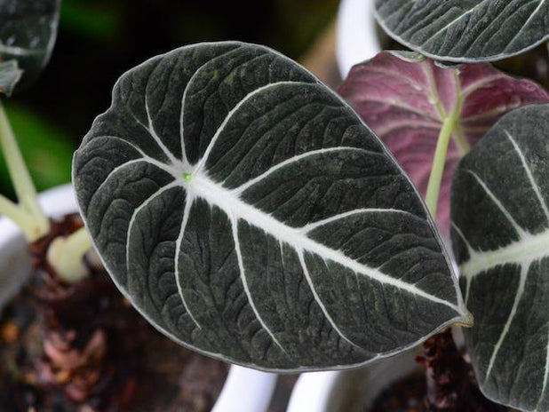 "Alocasia ""Black Velvet"" 