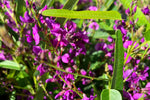 Meema™ Hardenbergia violacea 'HB1' PBR native ground cover with slender green leaves and a mass of purple flowers on stems