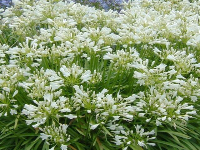 Agapanthus Snowball | Plants in a Box | Free Shipping Australia | Buy Plants Online