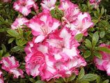 Azalea gretel | Evergreen Shrub with Pink and White Flowers | Japanese Style Gardens