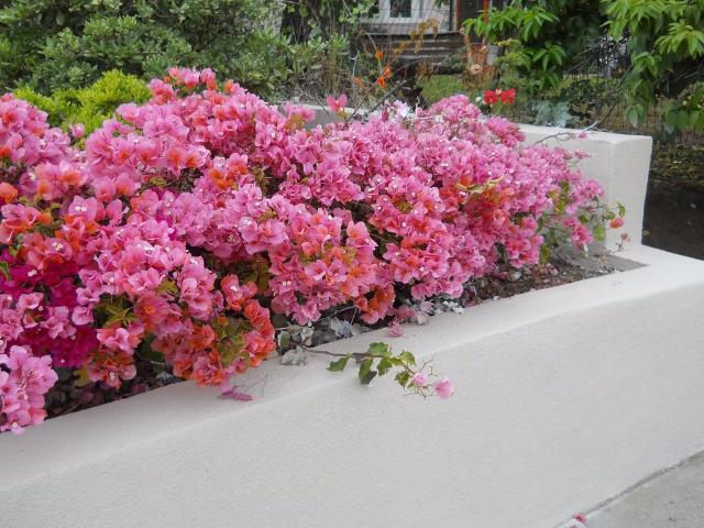 Bougainvillea Rosenka | Plants in a Box | Free Shipping | Large Grower