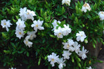 Flowering shrub Gardenia augusta Radicans with sweetly scened white blooming flowers