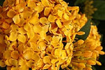 Ixora Gold Malay